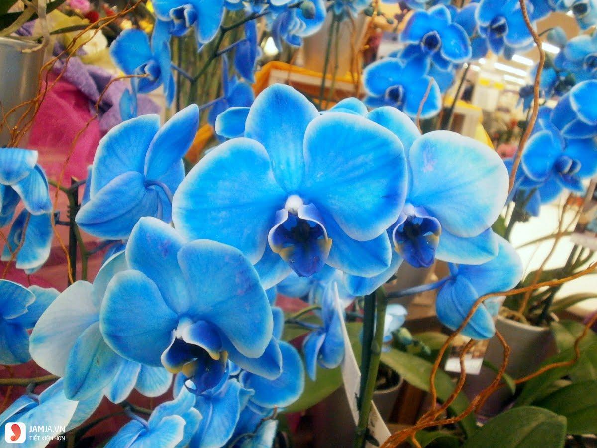 Hoa lan hồ điệp xanh dương