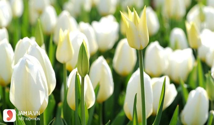 Nên trồng hoa gì bán Tết 2018- hoa tulip
