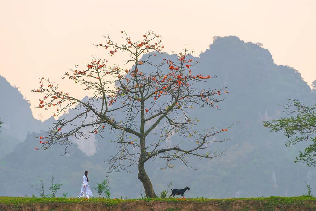 hoa gạo Hồ Quan Sơn
