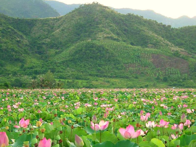 mùa sen ở Hồ Quan Sơn